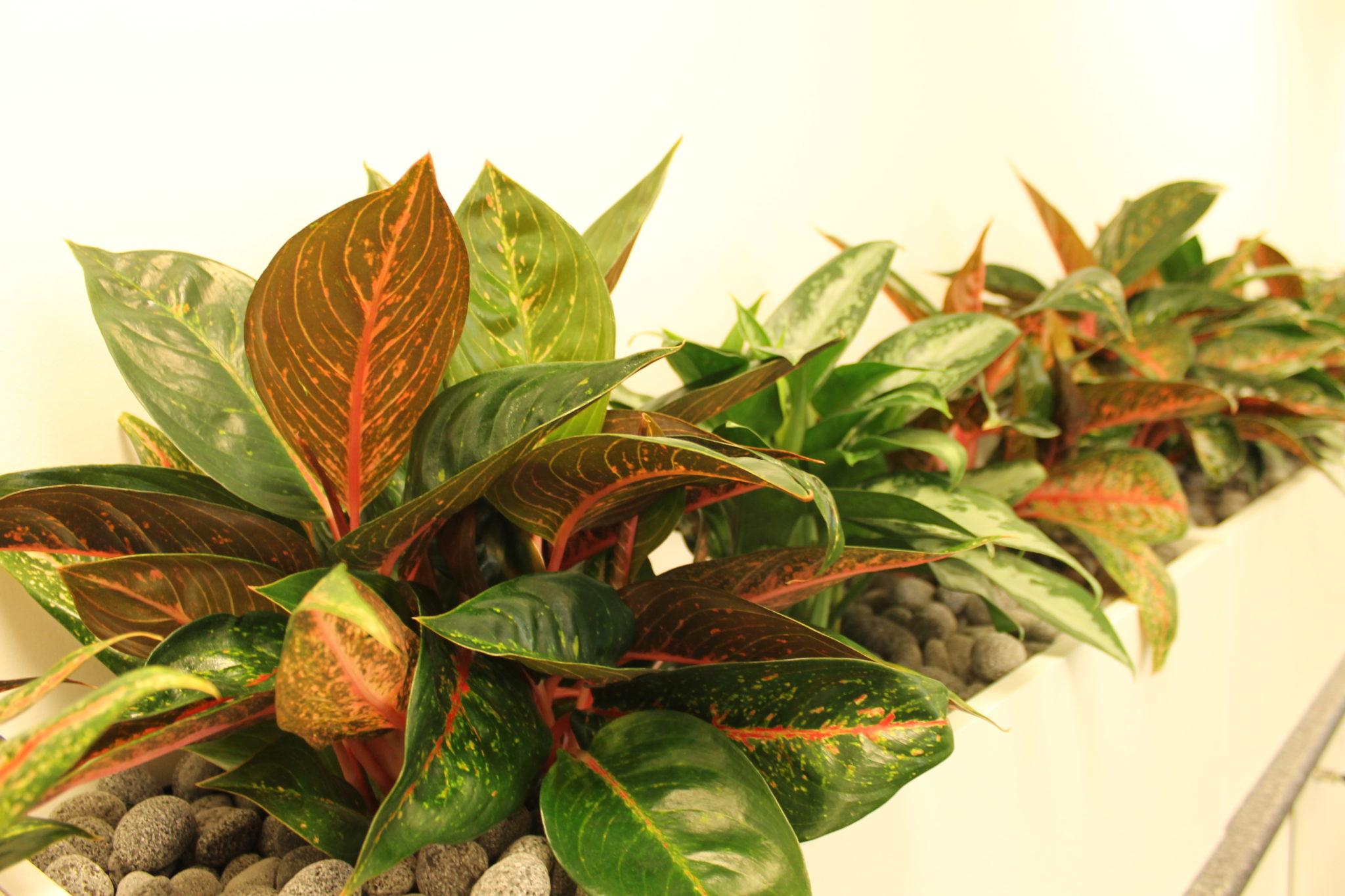 Pothos Devils Ivy Bretts Plants