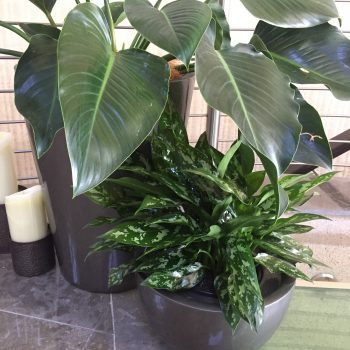 office plant care - plant rental sunshine coast - corporate plants