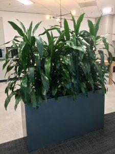 Indoor Plant Hire Maroochydore QLD