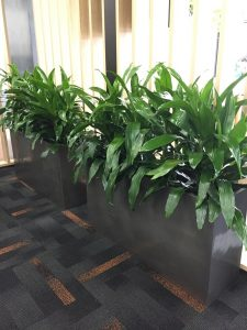 Office Plants Gold Coast QLD - Corporate Indoor Plants